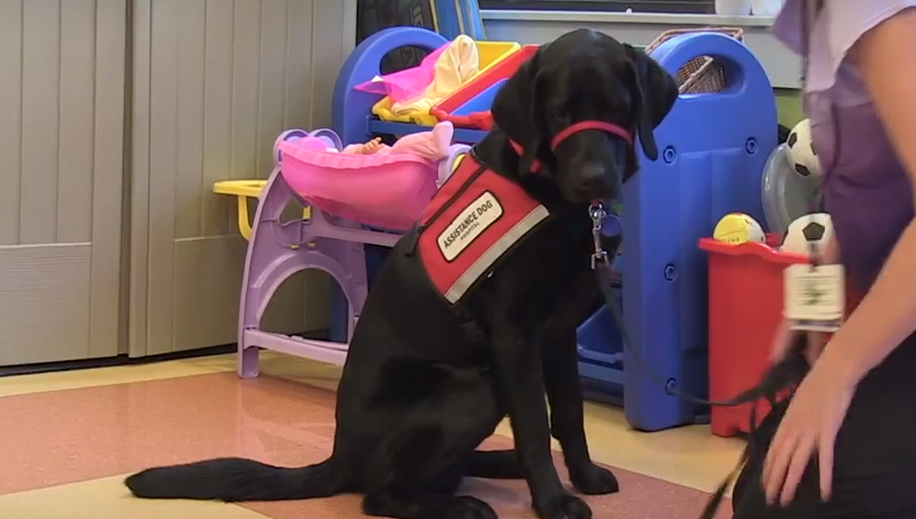 Marcus - Franciscan Hospital Assistance Dog
