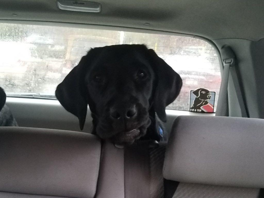 Maple in Car