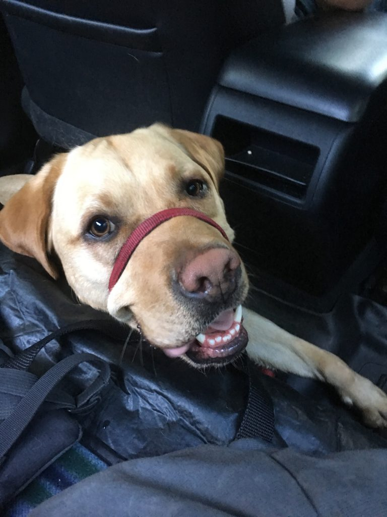 A majority of the time, I rely on Uber and Lyft to get around. Edison is very used to getting into the car and settles quite well. The problem lies when drivers refuse my ride request because of my Service Dog. It can take me upwards of an hour to find a ride because the driver cancels after I tell them about my dog. I only tell them ahead of time as a courtesy but under the ADA I am not obligated to. Sometimes my ride will show up and drive away. Why is it so hard to tackle this issue? #day38of365